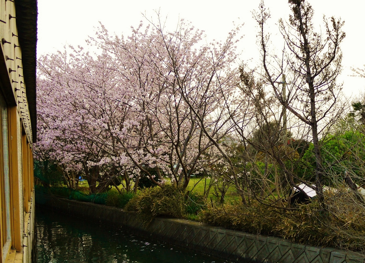 ため池の桜
